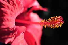 Hibiscus (ameliapardo) Tags: flores floresyplantas naturaleza flora andalucia espaa foresrojas