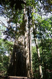 DSC_5846 curtain fig tree, Yungaburra National Park, Queensland