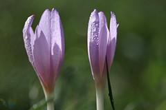 Les jeunes convictions (Emmanuelle2Aime2Ailes) Tags: macro fleurs colchiques rose cmwdpink