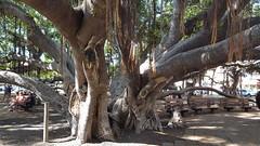 Lahaina Banyan (ehj630) Tags: lahaina maui banyan