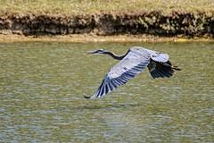 Staying Low (brev99) Tags: tamron70300vc d7100 greatblueheron bird bif birdinflight ngc highqualityanimals crescentpark nature topazdetail topazdenoise