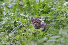 Schloss Tambach - Wildpark - Europische Wildkatze (astroaxel) Tags: deutschland bayern schloss tambach wildpark europische wildkatze katze
