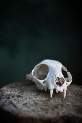 I love cats (~Muna Enrollada) Tags: interior skull cat luz natural gato color calavera wood