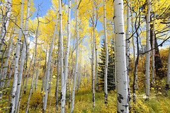 Into The Forest (of Aspen) (Cathy Neth) Tags: 1424mm coppellphotographer dentonphotographer flowermoundphotographer flowermoundphotography highlandvillagephotographer lewisvillephotographer aspen aspentrees aspentreesinautumn aspentreesincolorado aspentreesinfall autumn autumnincolorado beautifulaspen beautifullandscapes bluesky cathyneth changingcolors circularpolarizer cnethphotography coloradolandscapes composition d810 fall fallcolors fallincolorado forest forestchangingcolors goldenaspen goldenaspentrees landscape landscapephotography landscapes leefilters modernphotographer modernphotography mountainphotography mountains nationalforest nature naturephotography naturesbeauty nikon nikond810 photography photos rollingwhiteclouds sanjuannationalforest tree treecolors treephotography treephotos trees whiteclouds whitepuffyclouds yellowaspen