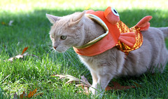 Trying to escape yet another Halloween costume (Kerri Lee Smith) Tags: halloweencostumes halloween costumes goldfish bufftabbies buffcats creamtabbies creamcats orangecats orangetabbies cats tabbies felines jimmy
