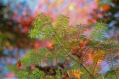 L'harmonie de la lumire / Harmony with daylight (1-4) (deplour) Tags: feuilles automne couleurs arbres leaves autumn colors trees harmonie lumire light harmony