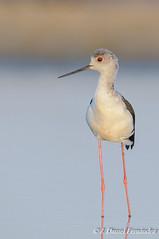 Su mejor perfil (Dani (Atrus)) Tags: cigeuelacomn himantopushimantopus blackwingedstilt jdanielfernndez elrincndelosprotegidos espaa spain aves birds fauna naturaleza
