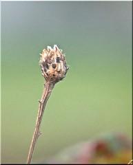 5081 Common Knapweed seed heads - Centaurea nigra (Andy - Daft as a brush - don't ask!) Tags: 20161018 ccc commonknapweed hhh kkk penmon seedhead sss centaureanigra