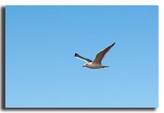 (thomas coquelet) Tags: mouette oiseau mer cote bleu