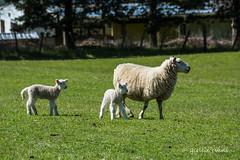 Spring Lambs, Middle Road, Havelock North (flyingkiwigirl) Tags: hawkesbay hb elsthorpe spring lamb ewe twin