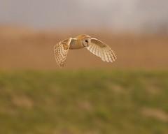 Barn Owl - Tyto alba (welshmanwandering1) Tags: england nature birds wildlife norfolk birdsinflight owls birdsofprey wildbirds