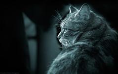 Millie (Jonathan Fletcher Photography) Tags: cute cat hair fur nikon kitten tabby pussy 28300 d600