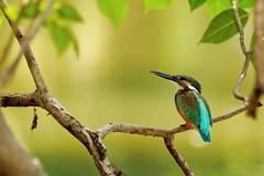 #850E0219 - A glance of King Fisher (Zoemies...) Tags: park nature birds king bokeh bangkok wildlife fisher rotfai zoemies