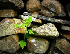Plant in a drystone wall (Tony Worrall Foto) Tags: life uk wild england plants plant green english nature wall outside grey living weed natural stones live north grow images cumbria gb peek heavy drystonewall grown drystone tonysphotos plantinawall 2013tonyworrall