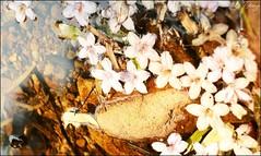 Sapa 2013_loving flowers (Lã Dung) Tags: flowers roses sapa