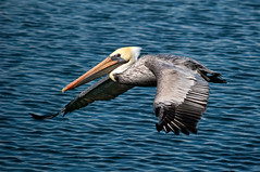 Brown Pelican, Pelecanus occidentalis (Pat Durkin - Orange County, CA) Tags: bird nature pelican brownpelican bolsachica shorebird pelecanusoccidentalis tacksharp wildbirdsunlimited wbu