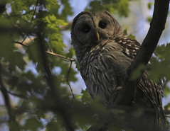 Barred owl -Dee2013 (Mike and Dee Brown) Tags: ohio nature forest poland owl raptors barred