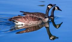 Canada Goose Reflection (Heidi Schuyt) Tags: reflection bird birds geese goose canadagoose inglewoodbirdsanctuary