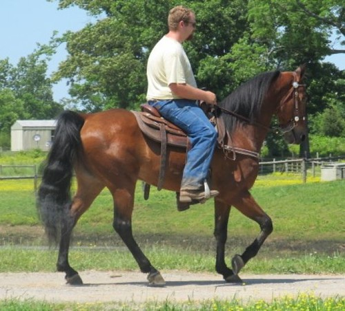 Big Stout Fancy bay Gaited Gelding