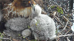 nestling with BR2 (Cornell Lab of Ornithology) Tags: red bird big university cams cornell redtailedhawk nestlings labofornithology cornelllabofornithology