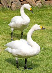 Bewick's Swans (paulgmccabe) Tags: bird london nature swan wildlife reserve waterbird wetlands land barnes protected bewick londonwetlandcentre bewicks wetlandcentre