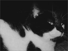 Oreo (joeldinda) Tags: bw cat chat kitty gato oreo joeldinda c50