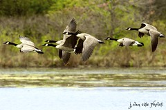 on the wing ~ Canada Geese ~ Branta canadensis ~ Huron River, Michigan (flock) (j van cise photos) Tags: onthewing canadageese nikond7100 michigan brantacanadensis huronriver afsnikkor70200mmf28gedvrii bird flock