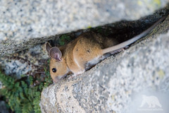 Deer Mouse (fascinationwildlife) Tags: california park wild summer mountain nature animal rock forest mouse mammal rodent wildlife natur deer national sequoia maus