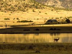 Abundance (Ilana Uys) Tags: africa light wild landscape southafrica golden bush scenery shadows dam peaceful scene poetic antelope hippo buck impala abundance pilanesberg