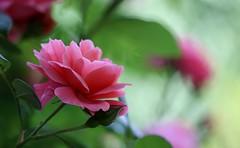Roses du jardin (! Nature Bx !) Tags: img0121 bokeh fleur jardin nature macro printemps rose