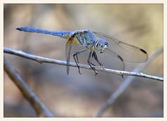 Dragonfly (gauchocat) Tags: sweetwaterwetlands tucsonarizona