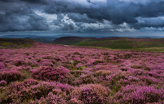 Purple rain (snowyturner) Tags: heather hills moorland landscape shropshire clouds rain showers