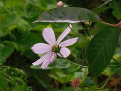 kosmos (roman25a) Tags: kwiat