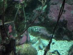 Pulpos (hatorbu) Tags: animals animales pulpo octopus aquariumfinisterrae aquarium acuario acorua vdeo video