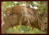 LEOPARD (Panthera pardus) ...MASAI MARA.....OCT 2015 (M Z Malik) Tags: nikon d800e 400mmf28gedvr kenya africa safari wildlife masaimara maraserena transmara exoticafricanwildlife exoticafricancats flickrbigcats leopard ngc npc