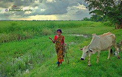 Returning home (Photography by Sottaneshi Santu) Tags: return home nature cloud sky people canon nikon cow grass rural outdoor country bangladesh season weather