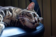 Maya (gRom62) Tags: maya gatti animalidomestici animali cats pets animals