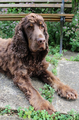My Boy <3 (Belle Pan's Maze) Tags: animal pet dog cocker spaniel show