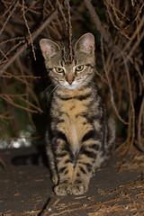 Cat on a warm shed roof (ArtGordon1) Tags: cat feline animal london england walthamstow davegordon davidgordon daveartgordon davidagordon daveagordon artgordon1