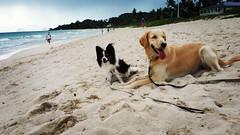 Gorgeous & Stormy (Jen-n-G) Tags: friends puppygirl gorgeous stormy papillon papillondog golden kailua hawaii beach