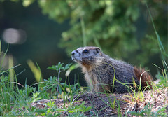 Yellow-bellied Marmot (Marmota flaviventris) (Jake M. Scott) Tags: yellowbellied marmot marmota flaviventris mammal outside jakescott