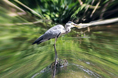 Grey Heron had Success in Hunting (Johnnie Shene Photography(Thanks, 1Million+ Views)) Tags: greyheron grayheron heron heronfamily egret interesting awe wonder reflection distorted animal bird birding feeding hunt hunting dining aves sideview fulllength nature natural wild wildlife standing photography horizontal outdoor colourimage fragility freshness nopeople foregroundfocus adjustment behaviour eating stream telephoto korea depthoffield resting tranquility tranquilscene ardea canon eos600d rebelt3i kissx5 tamron 90mm f28 11 macro lens