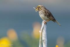 Bruant des prés de retour de la chasse / Savannah Sparrow back from hunting (Pierre Lemieux) Tags: montlouis québec canada bruantdesprés savannahsparrow gaspésie mer