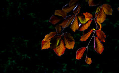 Leaves (Steve-h) Tags: leaves nature natur natura naturaleza copperbeech beech backlight contrajour contraluz colour colours red orange gold yellow green black white light shade shadows trees leaf dublin ireland europe summer august 2015 archives steveh