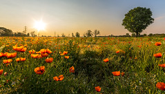 Spring sunrise (Federico Donati) Tags: poppies spring sunrise flowers country countryside italy earlymorning nikon sigma1020 formatthitech gnd sun bucolic landscape background pozzuolomartesana milano maggio may
