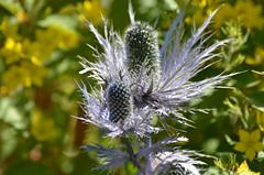 Alpine summer plant (dfromonteil) Tags: fleur flower plant plante nature summer blue bleu t vert green macro bokeh alps alpes light lumire