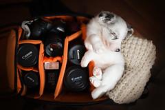 Cirilla  6 weeks (Alicja Zmysowska) Tags: dog dogs pet pets happy beautiful smile beauty bordercollie border collie puppy puppies slatemerle slate merle heath heathland camerabag