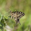 Théorie du chaos ** (Titole) Tags: squareformat machaon papiliomachaon swallowtail titole nicolefaton thechallengefactory