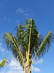 Cocos nucifera (coconut palm): Mild boron deficiency (Scot Nelson) Tags: coconut palm cocos nucifera boron b deficiency trimmed leaf leaves