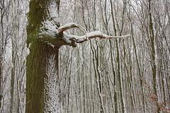 ckuchem-1641 (christine_kuchem) Tags: baumrinde buche bume eiche eis frost hainbuche natur pfad pflanzen ruhe samen spuren stille struktur wald weg wildpflanzen winter einsam kalt schnee ste